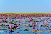 Sea of pink lotus in Udon Thani Thailand