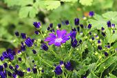 foto of bud  - Cineraria flower and buds,beautiful blue with purple cineraria flower and buds blooming in the garden