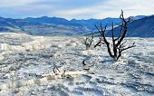 picture of walking dead  - Dead trees in Mammoth Hot Springs area of Yellowstone National Park Wyoming - JPG