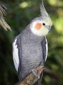 Cockatiel cutie