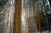 picture of coniferous forest  - driving snow in a coniferous forest between the boles - JPG