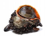 picture of mollusca  - Rapana venosa covered with mussels - JPG
