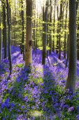 Beautiful Morning In Spring Bluebell Forest With Sun Beams Through Trees