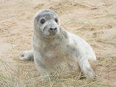 Baby grey seal pup, sat up
