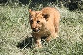 Lion cub walking on grass