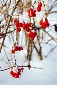 Viburnum, on the branches in February