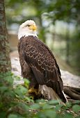 Wildlife American Bald Eagle Bird Nature
