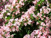 Pink Weigela in Spring