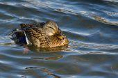 Mallard Duck Swimming In The Water