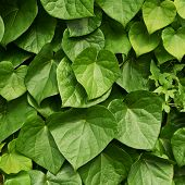 Surface covered with ivy leaves