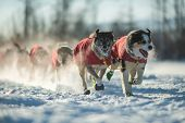 foto of sled-dog  - A sled dog team in the 2015 Yukon Quest from Whitehorse - JPG