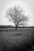 Paddy field with tree. BW image