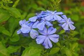 picture of scant  - verbena flower in garden close up beautiful flower in nature - JPG
