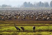 Three Storks In Front Of A Flock Of Throusands Of Storks