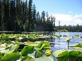 lilypads on a quiet northern lake