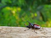 Rhino Beetle On Log, Green Blured Background