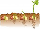 picture of germination  - Vector illustration of growth stages of bean seed - JPG