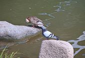picture of duck pond  - Duck cleans feathers sitting on a rock in a pond and dove watching her - JPG