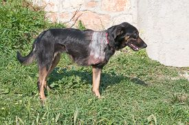 image of amputation  - Injured stray dog with amputated front leg - JPG