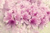 stock photo of azalea  - Flowers of Rhododendron  - JPG