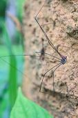 stock photo of daddy  - Harvestman spider or daddy longlegs close up on tree in forest - JPG
