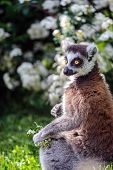 picture of nose ring  - Lemur suitor with flowers sitting on sunny summer day on grass - JPG