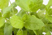 foto of peppermint  - bush of fresh green peppermint close up - JPG