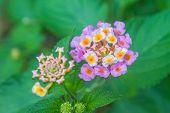picture of lantana  - Lantana or Wild sage or Cloth of gold or Lantana camara flower in garden - JPG
