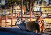 foto of zebu  - Two holy cows sitting on a bridge in Udaipur - JPG