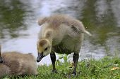 stock photo of baby goose  - A little Canada Goose  - JPG