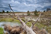 picture of swamps  - old tree trunk on swamp with cottongrass North Brabant Netherlands - JPG