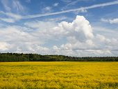 image of rape  - Nice yellow rape field in sunny day - JPG