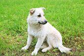 stock photo of stray dog  - White stray dog over green grass background - JPG