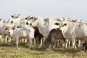picture of pastures  - nelore cattle in pasture on farmland brazil - JPG