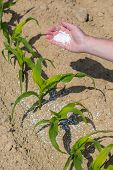 pic of fertilizer  - The hand full of fertilizer above young green corn - JPG