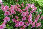 stock photo of azalea  - Closeup shot of pink Azaleas - JPG