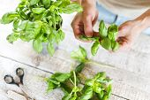 picture of basil leaves  - Basil leaves on a white wooden kitchen table  - JPG