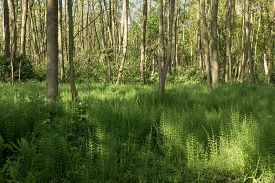 picture of horsetail  - Forest with Horsetail in De Horsten estate in Wassenaar Netherlands - JPG