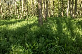 stock photo of horsetail  - Forest with Horsetail in De Horsten estate in Wassenaar Netherlands - JPG