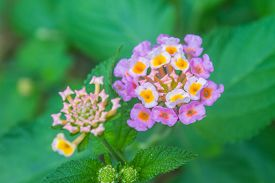 foto of lantana  - Lantana or Wild sage or Cloth of gold or Lantana camara flower in garden - JPG