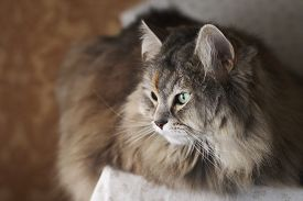 image of cleopatra  - The beautiful Cleopatra, a siberian green-eyed cat.