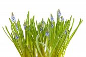 Muscari Botryoides Flowers Also Known As Blue Grape Hyacinth poster