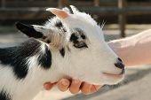 stock photo of pygmy goat  - Adorable little goat being stroked at the petting zoo - JPG