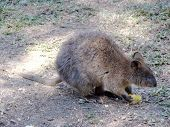 stock photo of quokka  - a quokka eating corn on the cob - JPG