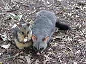 pic of possum  - mother and son sharing dinner - JPG
