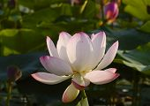 picture of hydrophytes  - Wild pink lotus  - JPG