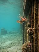 picture of lion-fish  - a lion fish near a submerged fence - JPG