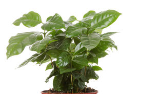 image of coffee coffee plant  - Coffee  - JPG
