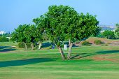 Carob Tree (ceratonia Siliqua) And Golf Field, Paphos, Cyprus
