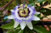 Passion Flower With Sunlight In Tropical Garden. Beautiful Passion Flower Also Known As Passiflora ( poster
